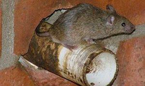 Dịch vụ diệt chuột uy tín chất lượng